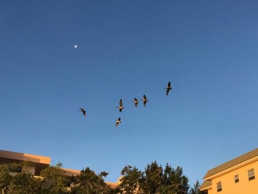 Pelicans over BTC_crop 1