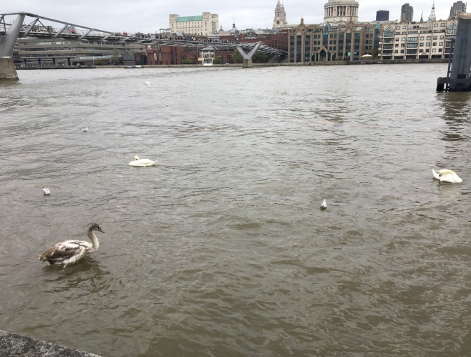 05 Swans in the Thames