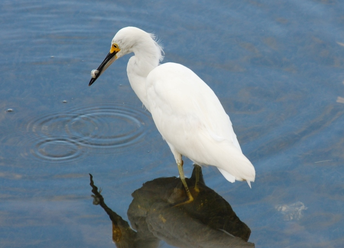 Egret with legs bent_bagging fish